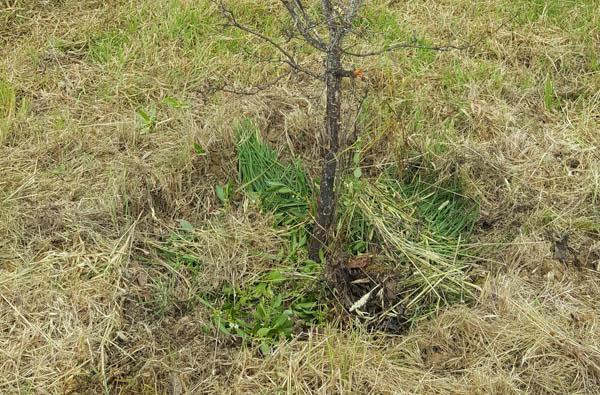 Green nitrochen mulch