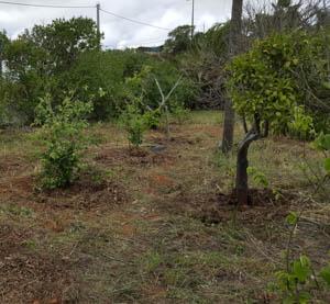 Saving a overgrown orchard
