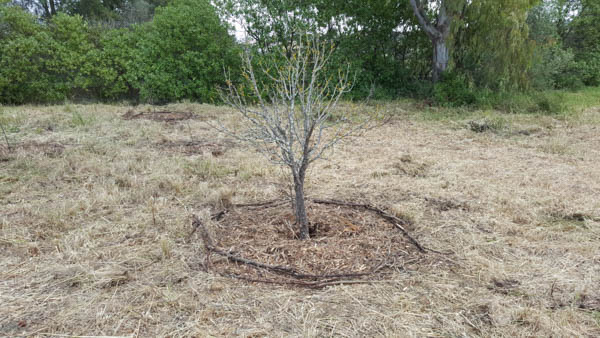 mulched fruit tree