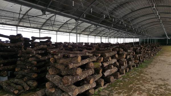 Shitaki mushroom cultivation Portugal