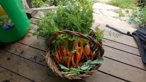 carrots at YHP
