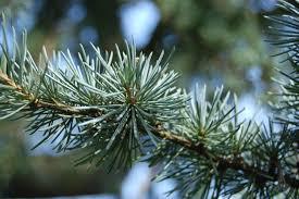 cebrus-attantica-leaf
