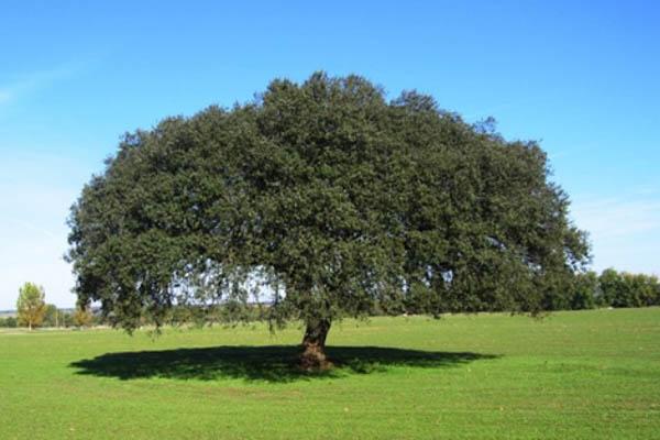 holm-oak