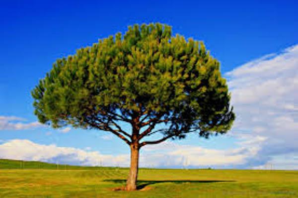 stone-pine-tree