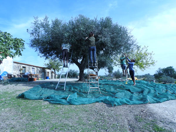 volunteering-harvesting-olives-portugal
