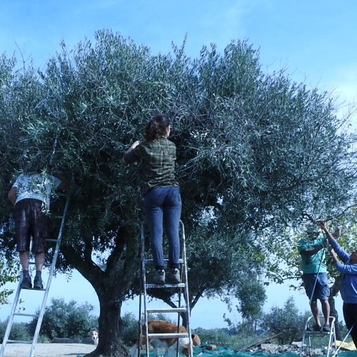 Olive picking yoga retreat and detox