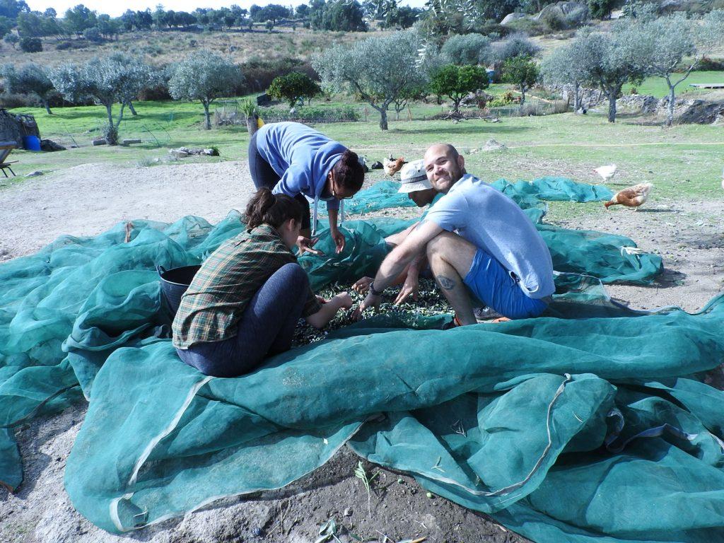 Olive picking portugal