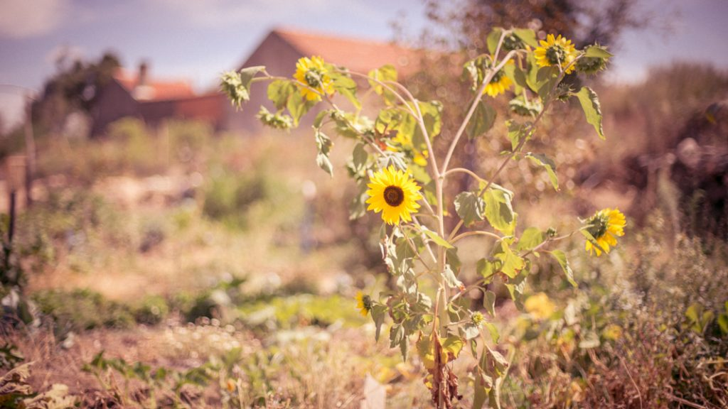 Sunflowers adding color to the food forest