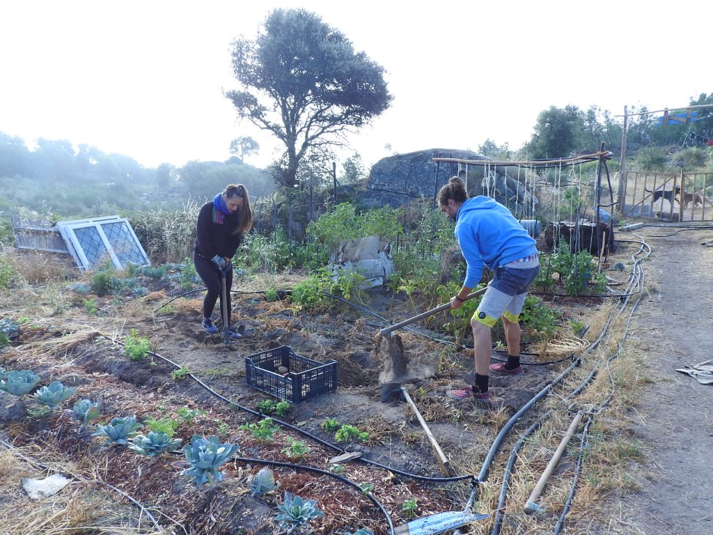 Harvesting potatoes for our own organic food