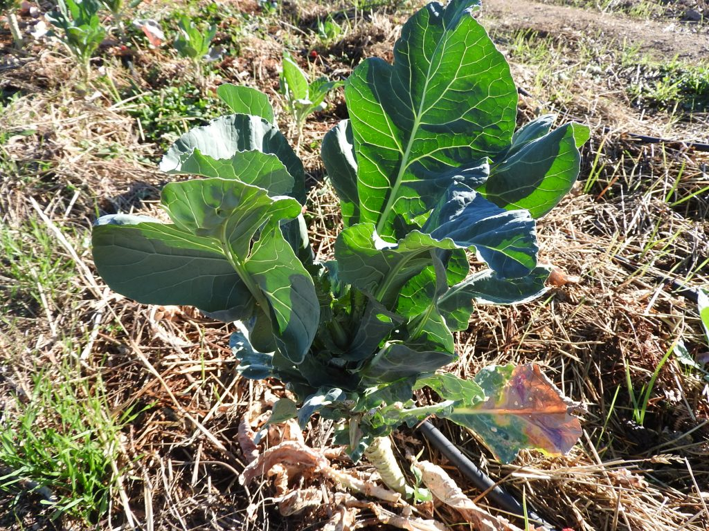 We harvested the broccoli flower months ago but we have around 30 plants providing us with wonderful leaves which are great in the salads.