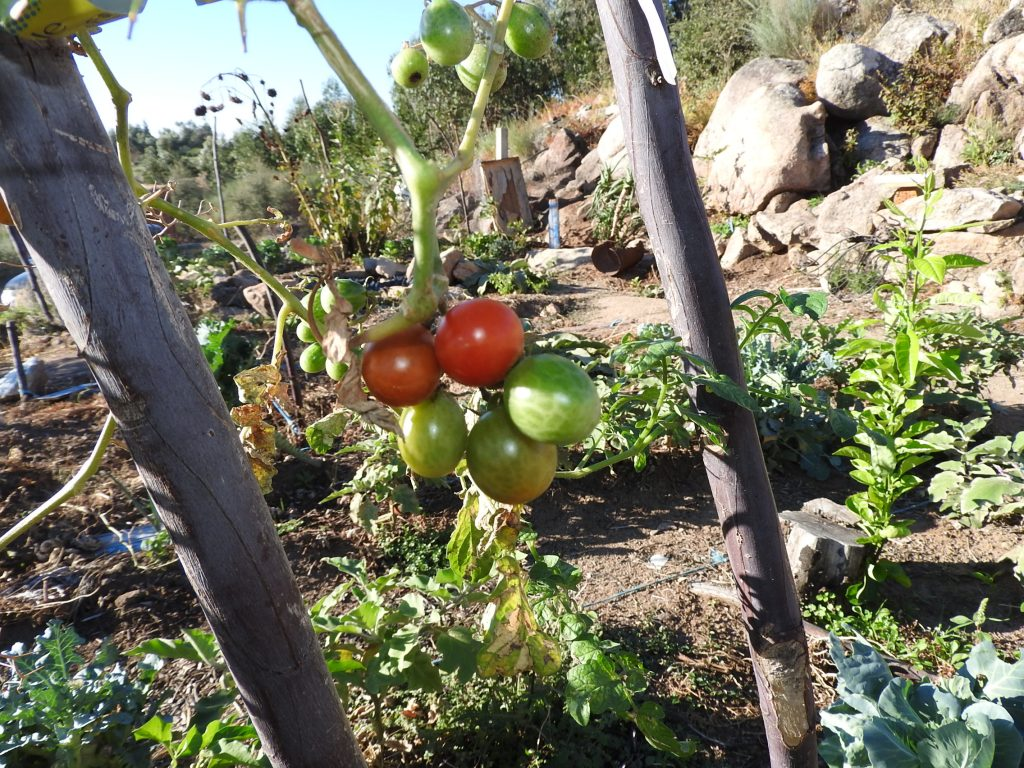 Tomato season is nearly out but we still use cherry tomatoes grown from seen