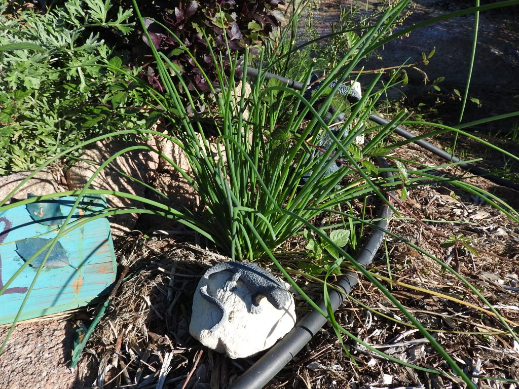 I also like to include chives. Grown from seed