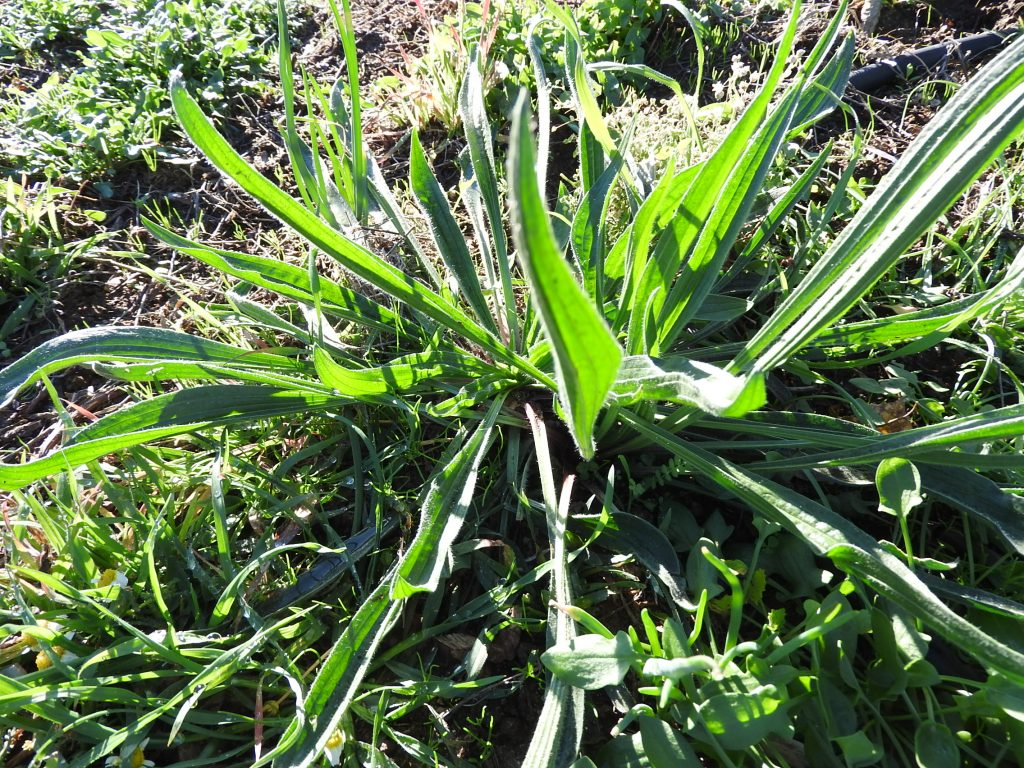 Plantain we don't have so much or bu we occasionally use this in the salads