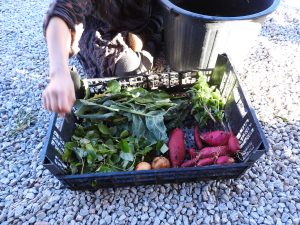 Fresh vegtables from the garden every day