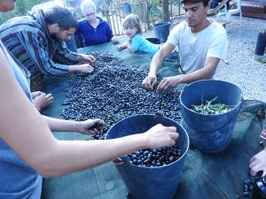 Collecting and processing olives in brine - everyone took a jar home