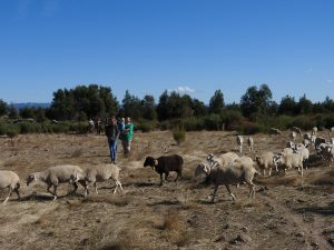 Herding sheep to help us clear land for a future food forest