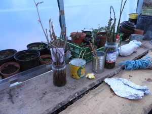 Making Willow water, an organic rooting liquid that helps cuttings grow by killing the fungus that kills the cutting