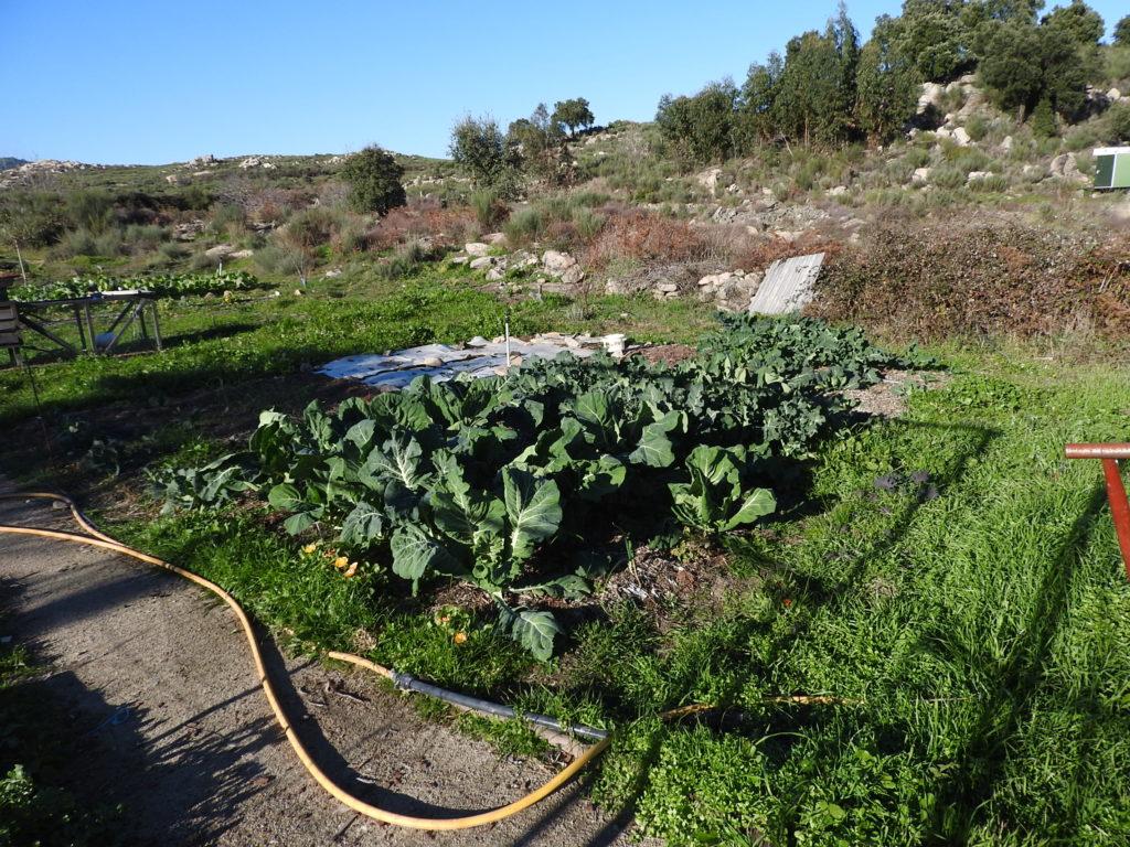 wood chip gardening cabbage