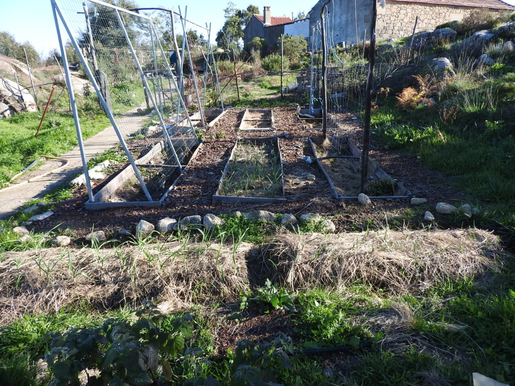 growing garlic portugal