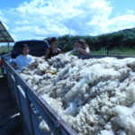 Cleaning and Using Sheep Wool for Insulation