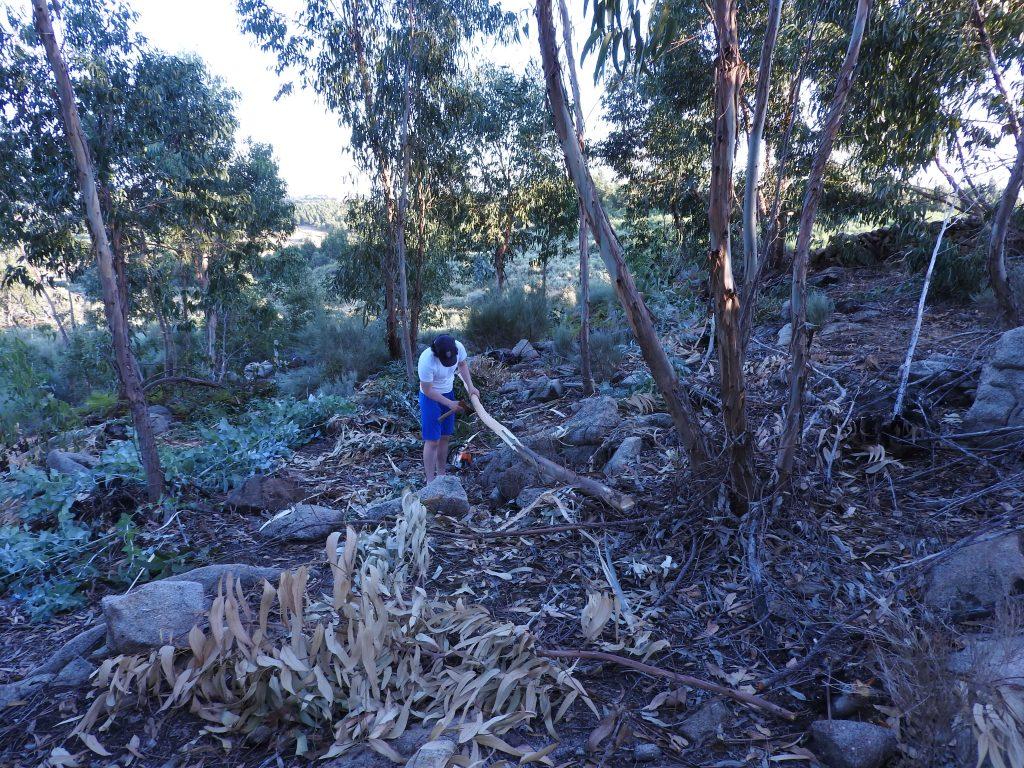 Strippingh Eucalptus