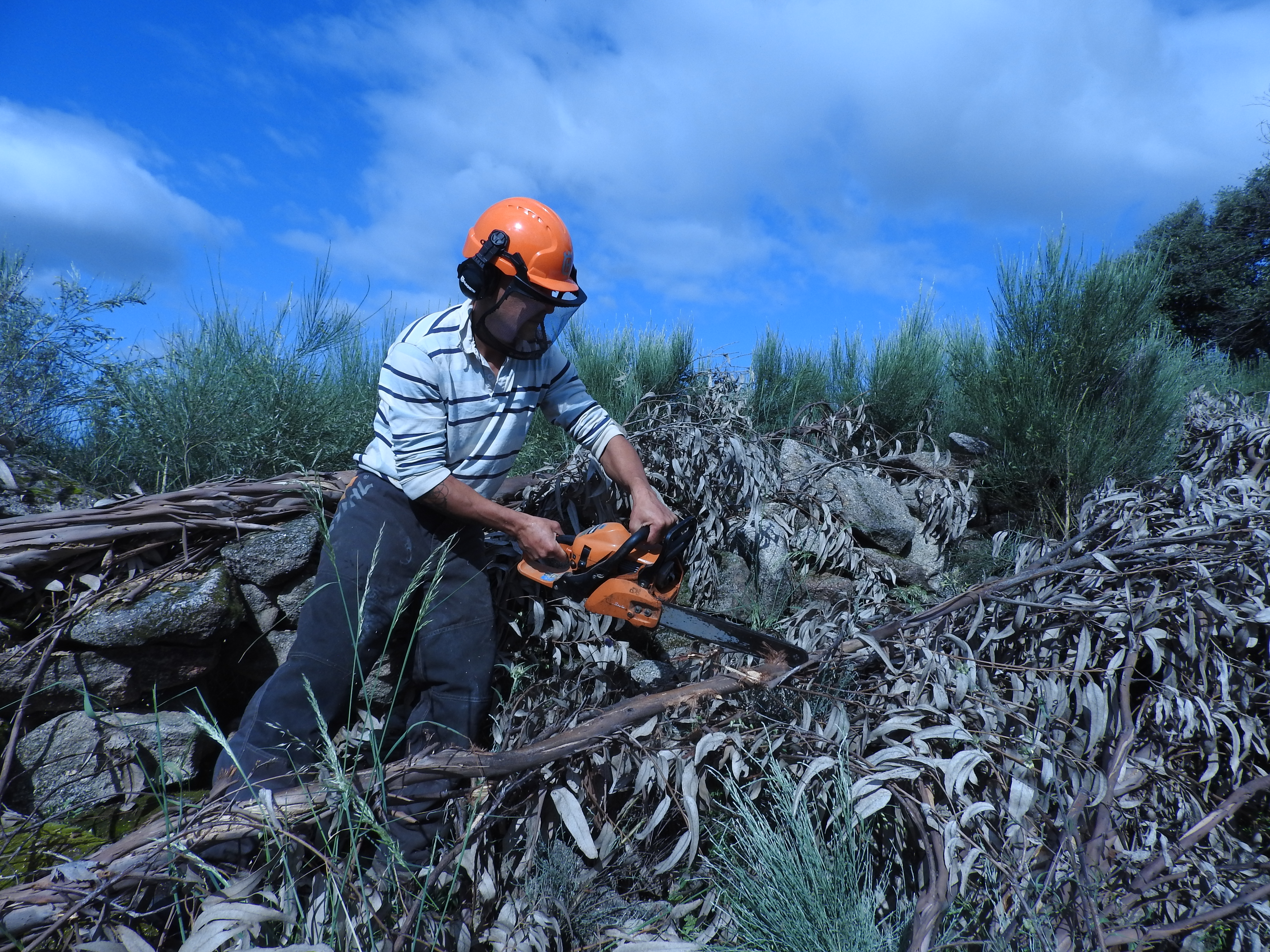 kill eucalyptus naturally